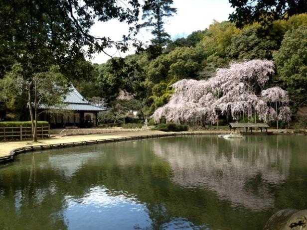 sogenji-cherry-blossoms